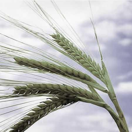 دانلود اهنگ از دانه تا گندم شدن امیر زمستانی از دانه تا گرمای نان